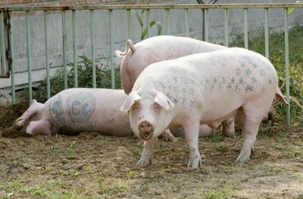Tattooed Pigs by Wim Delvoye