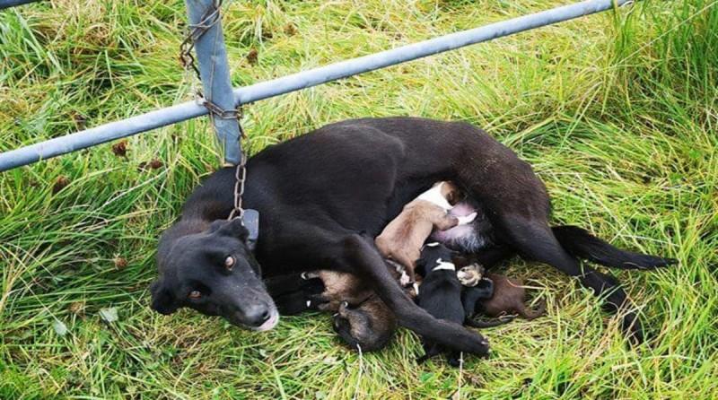 Неизвестные посадили изможденную собаку с 6 щенками на цепь посреди поля, обрекая всех на верную смерть